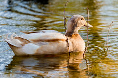 Duck in a pond Stock Images