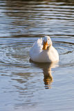 Duck in a pond Royalty Free Stock Images