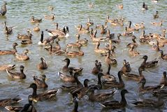 Duck pond. Ducks and geese swim about haphazardly as they feed in a duck pond Royalty Free Stock Image