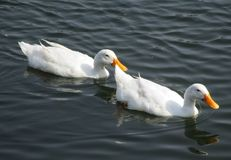 Duck Pond royalty free stock photo