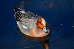 Duck on a pond facing the camera. A duck floats on a small, calm pond in Yamato, Japan on a beautiful spring day Royalty Free Stock Images