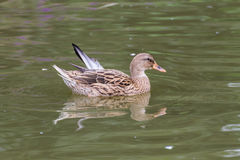 Duck in the pond Royalty Free Stock Images