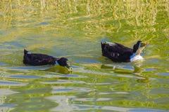 Duck on the pond Stock Photos