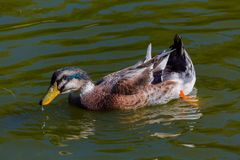 Duck on the pond Royalty Free Stock Photo