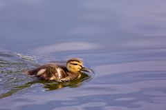 Duck on the pond Stock Photography