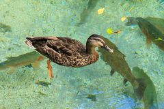 A duck on a pond full of rainbow trout. A female mallard swims on a shallow and clear freshwater pool stocked with trout stock image