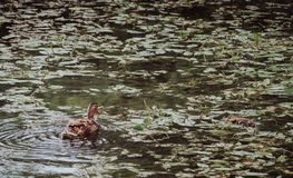 Duck in a pond with her duckling swimming towards her. Mother duck in a pond with her duckling swimming towards her Stock Photo