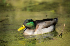 Duck in a pond. Mallard duck swimming in a small pond in Rookery in Streatham, London Stock Photos