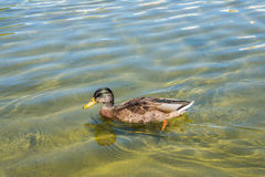 Duck in the pond. Duck in the Oak fountain pond, Peterhof State Museum Preserve, Russia Royalty Free Stock Photography