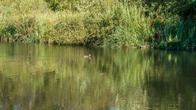 Duck On Pond Stock Image
