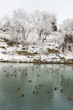Duck Pond Park. In the Ridges neighborhood of Grand Junction, Colorado in the winter with snow on lacy trees Royalty Free Stock Images