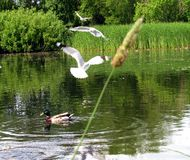 Duck in a pond in a Park. This is a Mallard duck in a pond with sea Gulls flying in a park in Norway Royalty Free Stock Photos