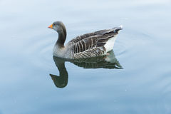Duck in a pond in parkland. In the UK Royalty Free Stock Image