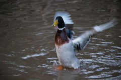 Duck. In the pond preparing to fly stock photos