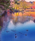 Duck pond Monet like reflections in Tokyo Japan. Ducks eagerly rush forward in the foreground on the blue pond, while colorful reflections fill the background Stock Photos