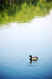 Duck in pond Stock Photography