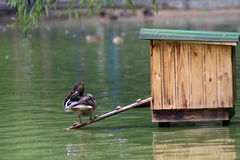 Duck in the pond royalty free stock photography