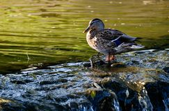 Duck on the pond. Duck on the stones near the pond Stock Photography