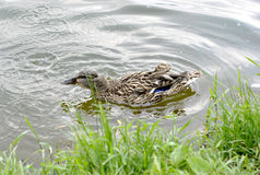 Duck in a pond Stock Image