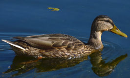 Duck. In the pond sunny summer day Royalty Free Stock Photo