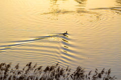 Duck in a pond at sunset Royalty Free Stock Images