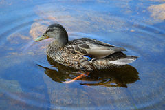 Duck in a pond Royalty Free Stock Photo