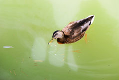 Duck in the pond. Duck swimming in the pond Royalty Free Stock Photo