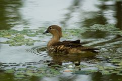 Duck in the pond. Swims among the grass Stock Photography