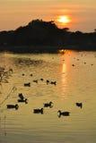 Duck Pond tranquilo Fotos de archivo libres de regalías