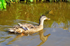 Duck in the pond Royalty Free Stock Photos