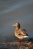 Duck por el lago Imagen de archivo