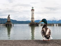 Duck at the port of Lindau Stock Photography
