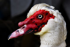 Duck  in portofino Stock Photos
