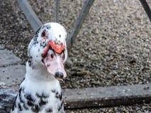 Duck Portrait Arkivfoton