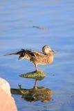 Duck portrait Stock Photography