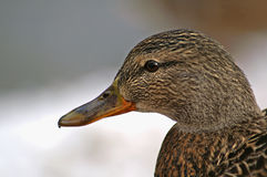 Duck portrait Royalty Free Stock Images
