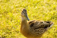 Duck Portrait Stock Photography