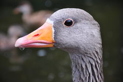 Duck portrait Stock Photos