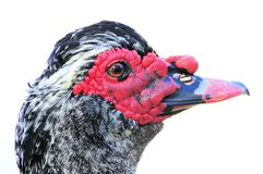 Duck portrait Royalty Free Stock Photos