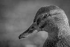 Duck Portrait Photo libre de droits