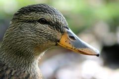 Duck Portrait Imágenes de archivo libres de regalías
