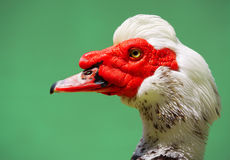 Duck Portrait Lizenzfreie Stockbilder