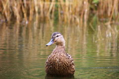 Duck Portrait Stockbild