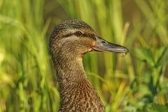 Duck Portrait stockbild