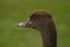 Duck Portrait Royalty-vrije Stock Afbeeldingen