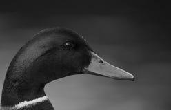 Duck Portrait. Black and white duck portrait stock images