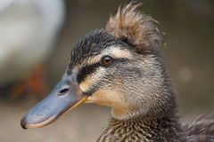 Duck Portrait. A  brown crested female duck poses for a photo Stock Photos