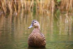 Duck portrait Stock Image