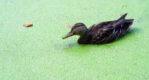 Duck portrait and green lake. In summer royalty free stock images