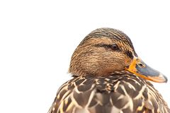 Duck portrait isolated. On white background royalty free stock image